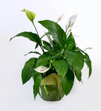 Spathyphyllum