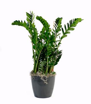 Zamioculcas zamiofolia