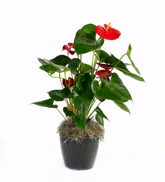Anthurium in pot